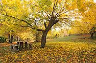 France, Languedoc Roussillon, Gard, Cévennes, mûrier en automne