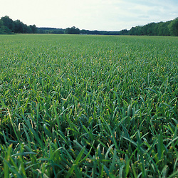Concord, NH.  A commerical sod field at Gold Star Farm, Concord, New Hampshire.