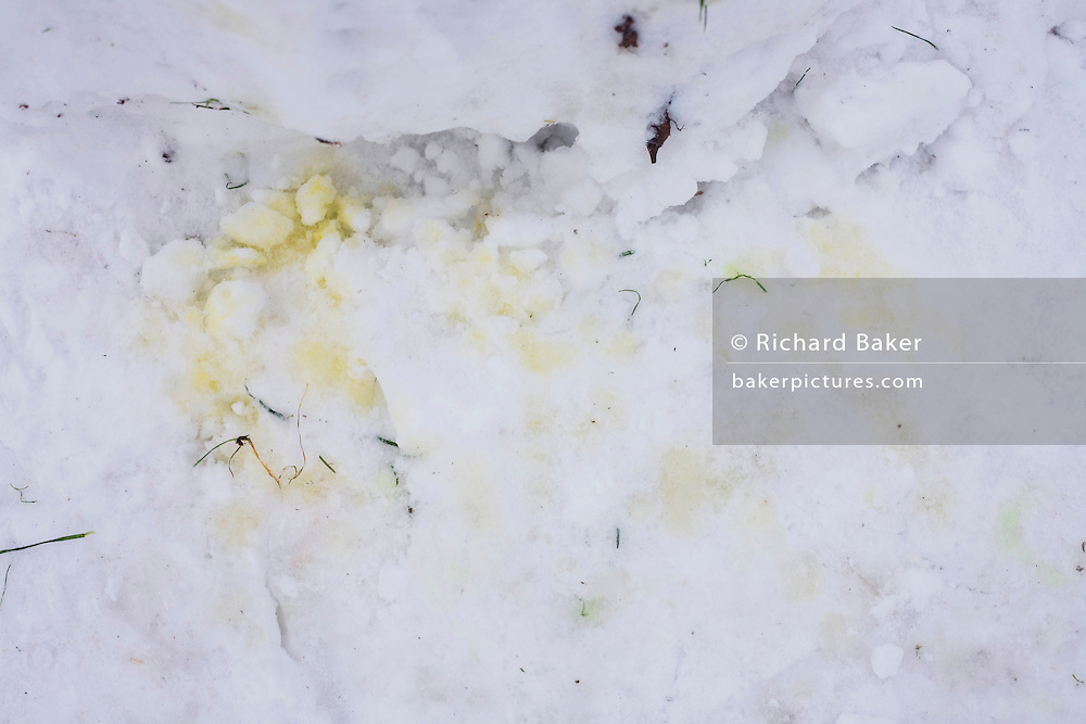 Yellow stained snow at the foot of a snowman left by animals in Ruskin Park, Lambeth.
