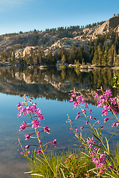 """Fireweed at Paradise Lake 2"" - These Fireweed wildflowers were photographed at Paradise Lake, California."