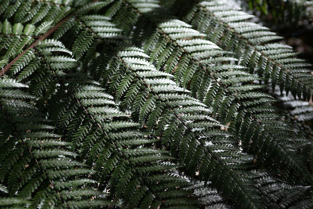 New Zealand's national emblem, the silver fern, on display at New Plymouth's Pukekura Park, New Zealand, July 28, 2004. Credit:SNPA / Rob Tucker