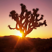A Joshua tree greets another brilliant sunrise in the Mojave Desert. Joshua Tree National Park, CA.