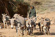 Datoga man herding donkeys. Lake Eyasi, northern Tanzania