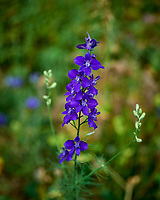 Larkspur. Image taken with a Leica SL2 camera and 24-90 mm lens.