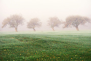 Four apple trees in the fog.