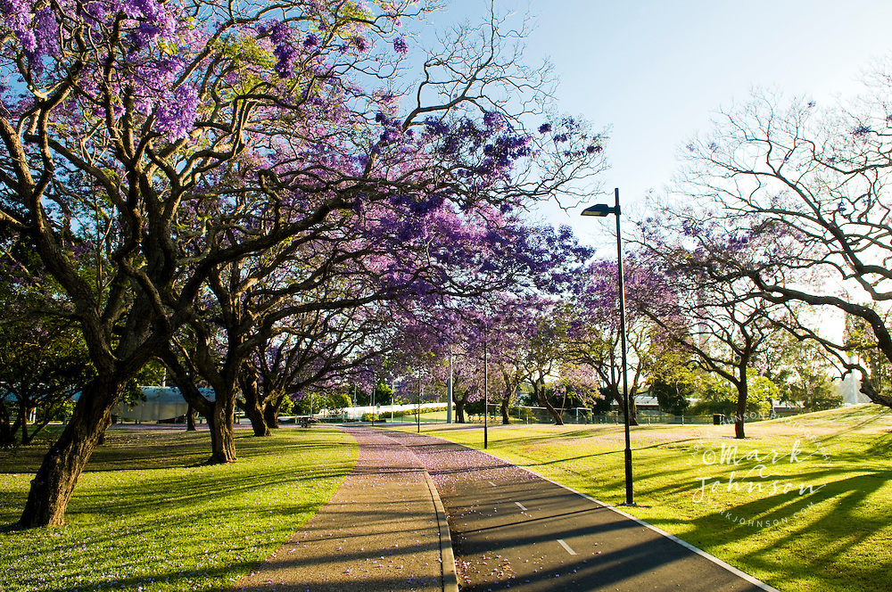 Jacaranda Trees in full Spring-time bloom, Brisbane, Queensland, Australia