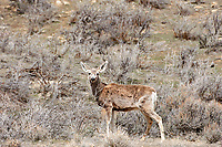 Mule Deer (Odocoileus hemionus), Sand Wash Basin, Wyoming, USA