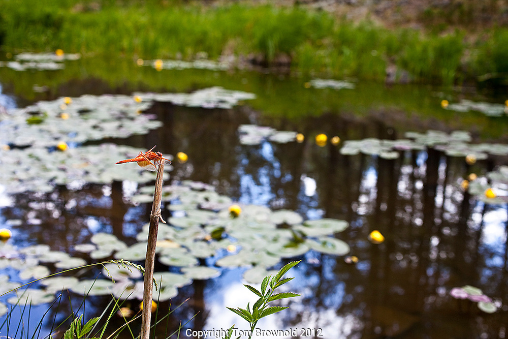 Dragon fly and it's lilly pond habitat.