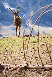 THEMENBILD - ein Rotwild Hirsch auf einer Wiese, aufgenommen am 07. März 2019 in Aurach, Oesterreich // a deer in a meadow, Austria on 2019/03/07. EXPA Pictures © 2019, PhotoCredit: EXPA/Stefanie Oberhauser
