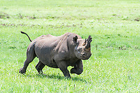 Black Rhino bull charging, Nambiti Private Game Reserve, KwaZulu Natal, South Africa