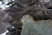 Leh - Thursday, Dec 07 2006: An Himalayan Mouse Hare (Ochtona roylei) looks out from between rocks in Hemis National Park, Ladakh. (Photo by Peter Horrell / http://www.peterhorrell.com)