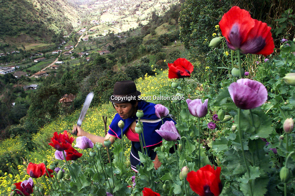 A Guambiano Indian hacks down poppies, the heroin-producing plant, in Silvia, 230 miles southwest of Bogota. Facing a U.S.-backed offensive to eradicate illegal drug crops some Guambiano Indians decided to voluntarily tear up the poppies to try to avoid fumigation, which would destroy not only the poppies but also their staple crops that grow around the opium plants. (Photo/Scott Dalton)
