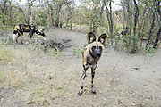 African Wild Dog<br /> Lycaon pictus <br /> At den<br /> Northern Botswana, Africa<br /> *Endangered species