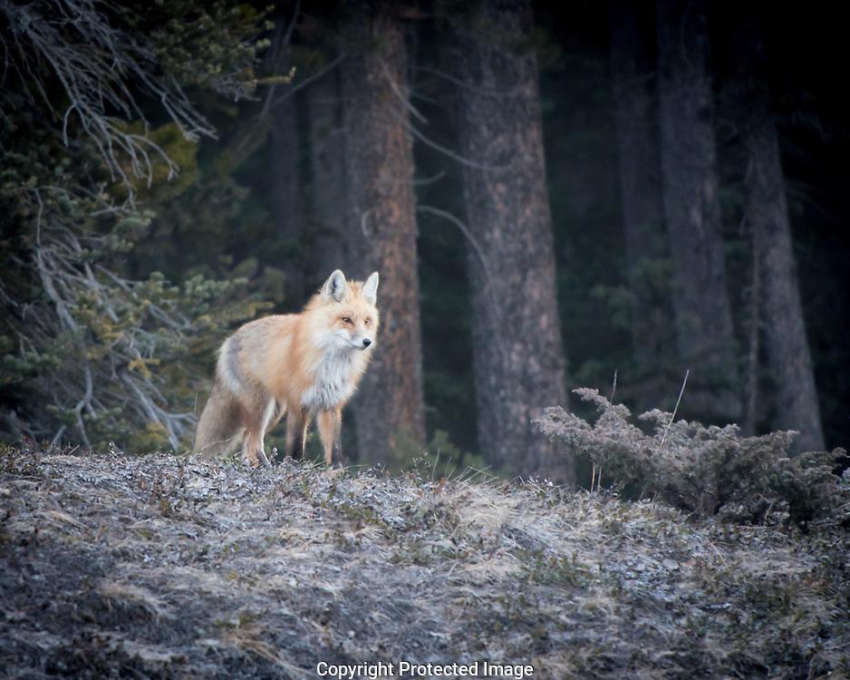 Red Fox. (Vulpes vulpes), Alberta, Canada, Isobel Springett