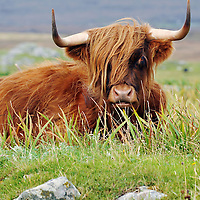 Picture by Christian Cooksey/CookseyPix.com.Morag the Highland Coo on  North Uist, The Outer Hebrides, Scotland