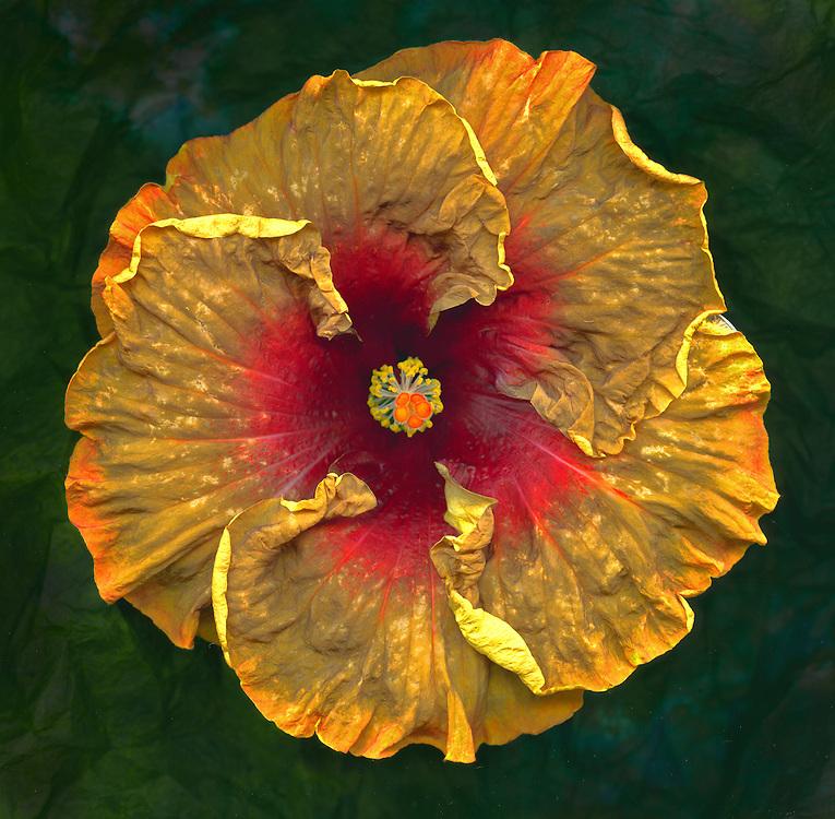 "Tropical Hibiscus ""Voodoo Magic"" / #VAR328"