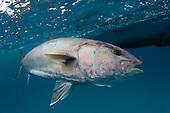 Saltwater Species
