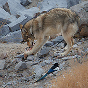 Tibetan Wolf Feeding on Sheep Kill, Photographed in Ladakh, India.