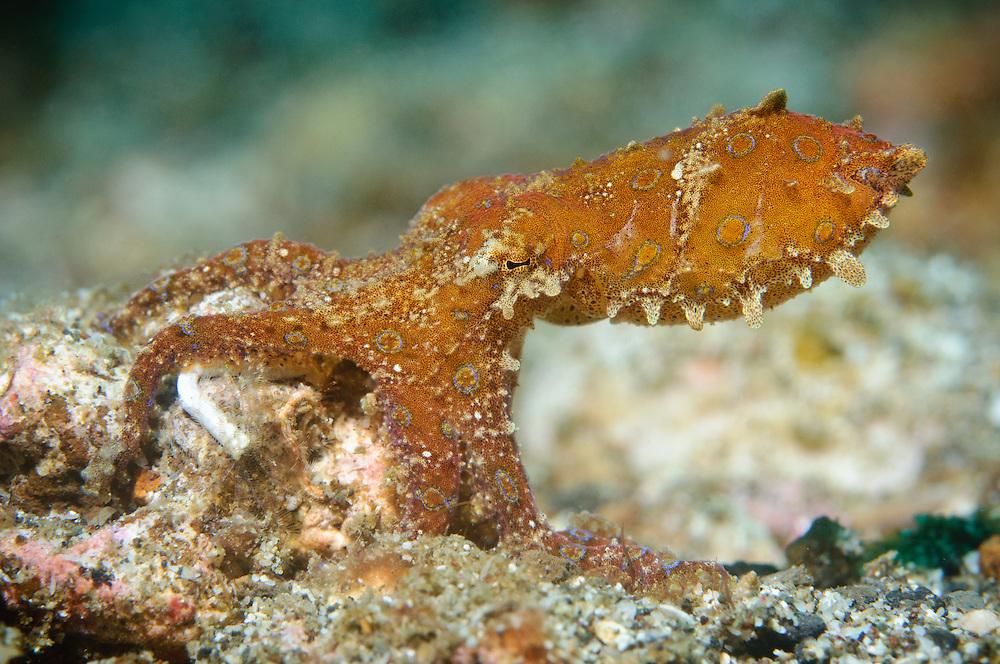 Blue-ringed octopus, Lembeh Strait, Sulawesi, Indonesia.