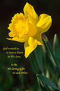 "Sunny daffodil flower on a dark background with the quote: ""God created us to have a share in his love; to be his loving gifts to each other."""