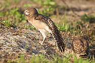 Juvenile burrowing owl stretches its wing over its leg, standing near burrow and sibling, © 2011 David A. Ponton