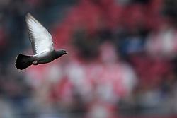25-04-2010 VOETBAL: AJAX - FEYENOORD: AMSTERDAM<br /> De eerste wedstrijd in de bekerfinale is gewonnen door Ajax met 2-0 / Een duif op het veld van de Arena<br /> ©2010-WWW.FOTOHOOGENDOORN.NL