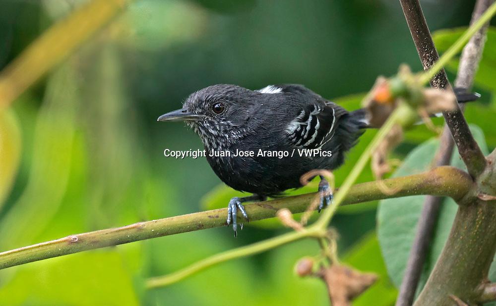 Jet Antbird (Cercomacra nigricans), Cali, Valle del Cauca