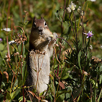 Golden mantled ground squirrel, Glacier National Park, Montana