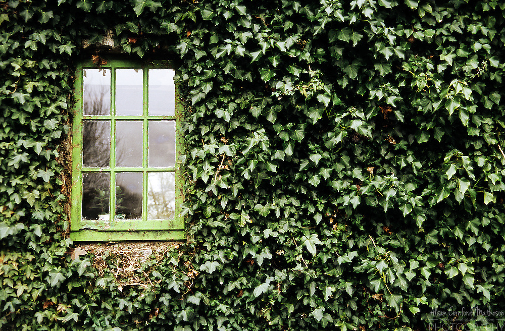 An old wooden window surrounded by Ivy