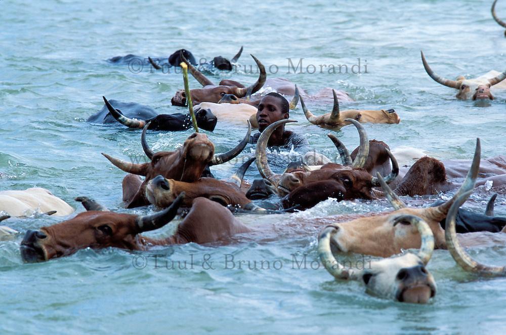 Mali - Sofara - Transhumance des troupeaux Peuls - Traversée du fleuve Bani