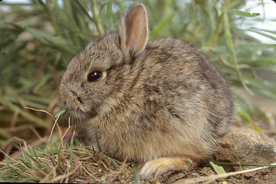 Mountain Cottontail, (Sylvilagus nuttalli) young bunny feeding on grass in foothills of Bridger Mountains. Montana.   Captive Animal.