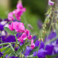 Perfume for pollinators: Lathyrus latifolia: Sweet pea