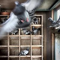Nederland, Amsterdam , 2 augustus 2011..De duiven vliegen uit boven coffeeshop de Ooievaar in Amsterdam Noord  van koffieshopeigenaars en tevens duivenmelkers Marco en Piet..Foto:Jean-Pierre Jans