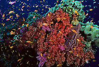 A coral reef in Fiji teaming with Anthias and other small fish.  Compare with shot FR57-06c taken a few seconds apart - all these fish instantly disappear into hiding places in  the reef when predatory jacks swim by in hunting mode.