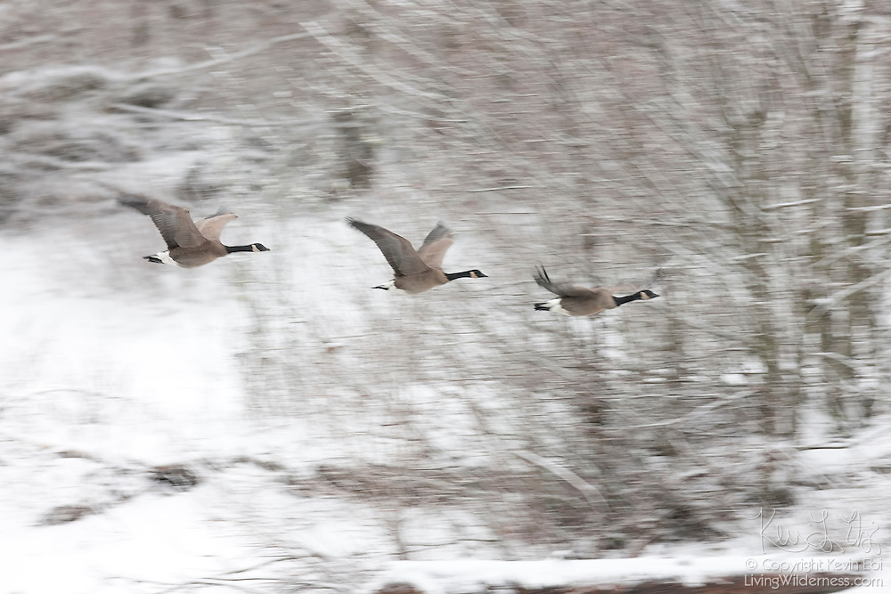 Three Canada geese (Branta canadensis) fly over the Squamish River during a snow storm near Brackendale, British Columbia, Canada.