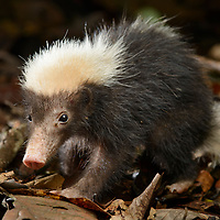 The small and nocturnal Sunda Stink-badger (Mydaus javanensis lucifer) is a relative of the skunks (family Mephitidae) occurring in Borneo, Sumatra, and Java. It feeds on invertebrates and small animals as well as tuberous roots. Sabah, Malaysia.