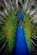 The Indian peafowl or blue peafowl (Pavo cristatus), a large and brightly coloured bird, is a species of peafowl native to South Asia, but introduced in many other parts of the world.