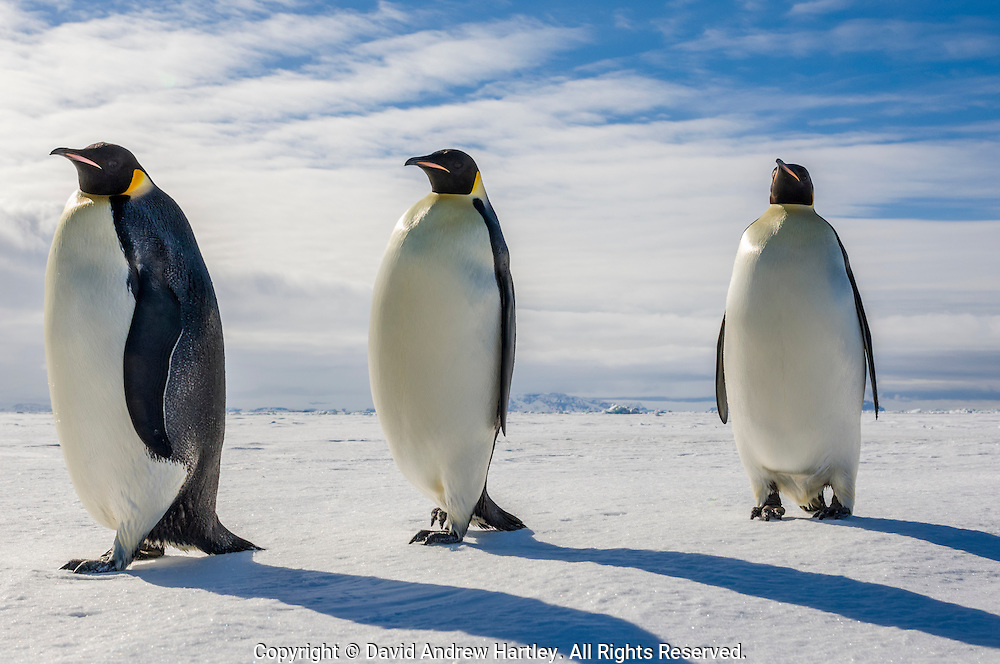 Three Emperor Penguins (Aptenodytes forsteri), Admiralty Sound, Antarctica.
