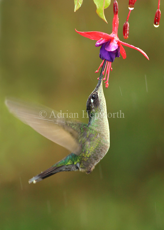 Magnificent Hummingbird (Eugenes fulgens) female feeding at flower. Cerro de la Muerte mountain range, Costa Rica. <br />