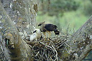 Crested Eagles in Nest- Female & Young<br />