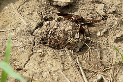Dark brown or black dragonfly<br /> Finfrock State Natural Habitat Area (Illinois)