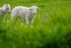 02-05-2019 NED: Nature around your garden, Maarssen<br /> Testing your new Sony A9 / The appearance of lambs in the meadow is for many people a sign that it is spring. The ewe is usually covered in November and she laments some 150 days later, in April.