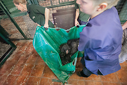 © London News Pictures. 23/06/2013. Hythe, Kent, UK (EMBARGO UNTIL 24/06/13). The keepers carry lowland gorilla Kishi to her crate. A critically endangered western lowland gorilla family from Port Lympne Wild Animal Park are bound for Gabon in Africa as part of The Aspinal Foundation's Back to the Wild campaign. Djala, a 30 year old silverback, four mothers and four offspring embark on a unique 6,000 mile journey back to the wild courtesy of its partners DHL. Picture credit Manu Palomeque/LNP
