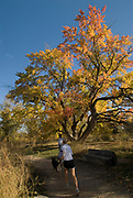 Couple with dog running past a magnificent autumn tree along the Boise Nature Preserve and green belt near Bown Crossing in Boise, Idaho.