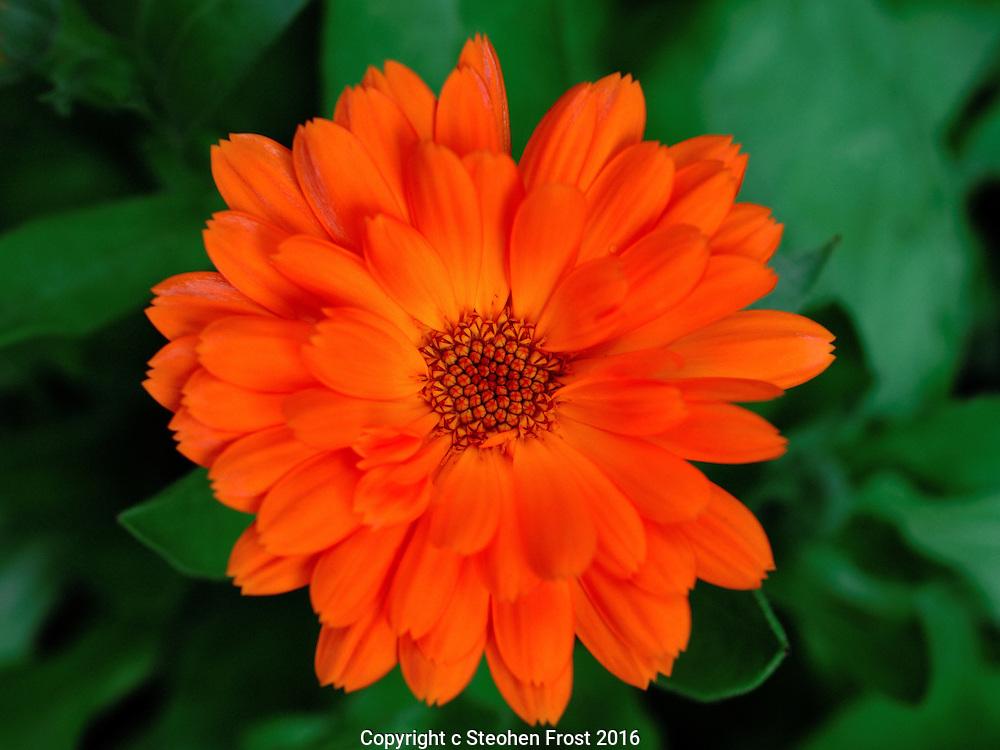 Calendula (marigold) in close-up.
