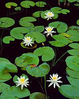 Water lilies in spring bloom.