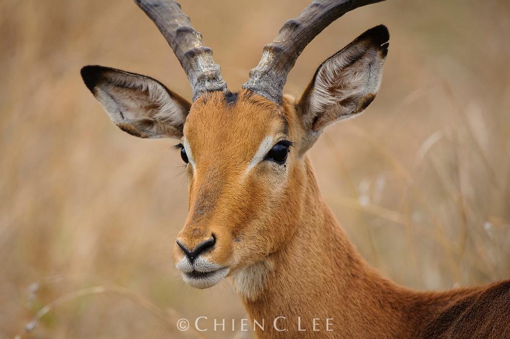 Impala (Aepyceros melampus). Mpumalanga, South Africa.