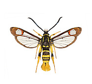 Yellow-legged Clearwing - Synanthedon vespiformis<br /> 52.012 BF374