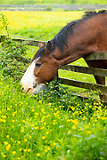 Shire Horse, Equus caballus, mare grazing on buttercups and long grass in Yorkshire Dales at Smardale Gill, England