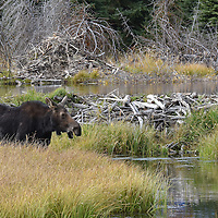 A moose at the waters edge, Grand Teton